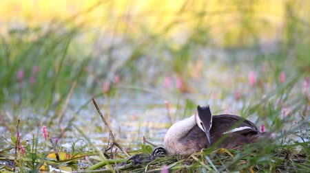 cristatus : Great Crested Grebe, Podiceps cristatus, on the nest. Climbs under her wing. Stock Footage
