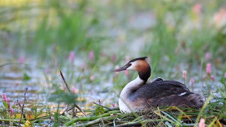 cristatus : Great Crested Grebe, Podiceps cristatus, on the nest. Two chicks looks out from under the wing. Stock Footage