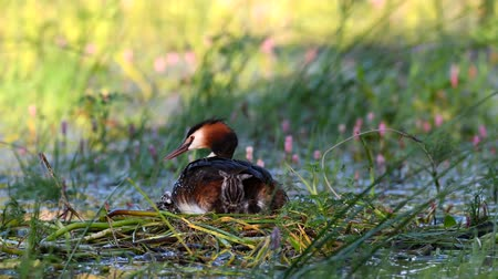 csaj : Great Crested Grebe, Podiceps cristatus, sits on the nest. Three Chicks climb under the wing. Stock mozgókép