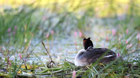cristatus : Great Crested Grebe, Podiceps cristatus, water bird sitting on the nest. The chick looks out from under the wing.