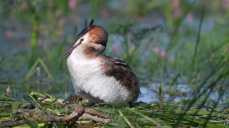 cristatus : Great Crested Grebe, Podiceps cristatus, on the nest, straightens eggs and sits on them