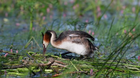 cristatus : Great Crested Grebe, Podiceps cristatus, on the nest, straightens eggs and sits on them. Stock Footage