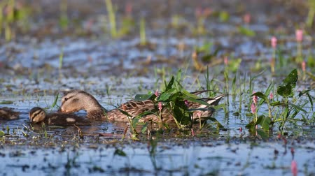 csajok : Wild Mallard duck with Ducklings feed in pond, (Anas platyrhynchos). Stock mozgókép