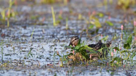 csajok : Wild Mallard duck with Ducklings feed in pond, (Anas platyrhynchos)