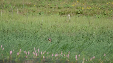 young animal : Wild Mallard duck with dragonfly (Anas platyrhynchos) in the grass