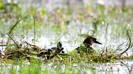 cristatus : Great Crested Grebe, Podiceps cristatus, on the nest. Moms back Stock Footage
