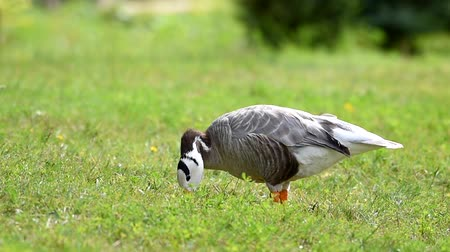 pantanal : Bar-headed goose, single bird walks on a sunny day