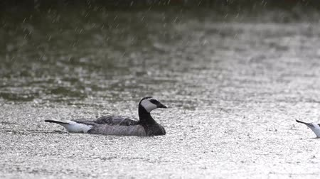 Barnacle Goose swims on the lake in heavy rain. Branta leucopsis