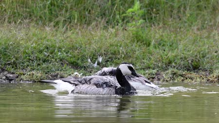 Two Barnacle Goose splashing in the water. Branta leucopsis