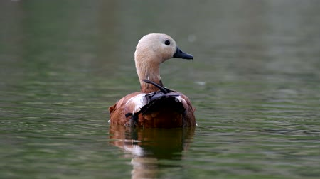 Ruddy Shelduck, single bird swims on the lake. Tadorna ferruginea