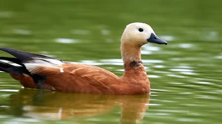 kaczka : Ruddy Shelduck, single bird swims on the lake. Tadorna ferruginea