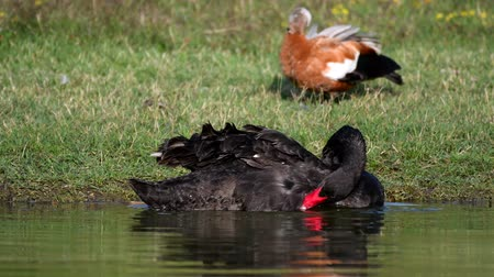 Black swan cleans his feathers in water. Cygnus atratus