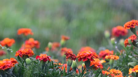 Beautiful orange red marigold flowers and leaves during watering. Tagetes Stock mozgókép