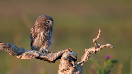 asa : Young little owl (Athene noctua) stands on a dry branch on a beautiful summer background