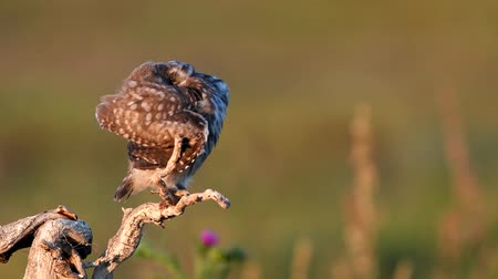 asa : Young little owl (Athene noctua) stands on a dry branch and preening its feathers on a beautiful summer background