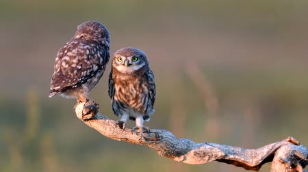 Two Young little owls (Athene noctua) stands on a dry branch on a beautiful summer background and looks at the camera