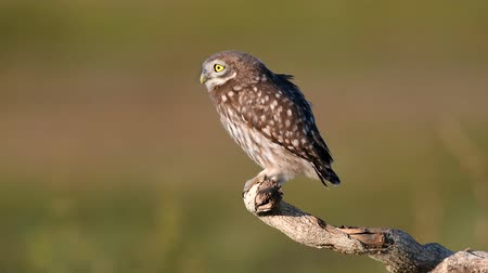 Young little owl (Athene noctua) stands on a dry branch on a beautiful summer background