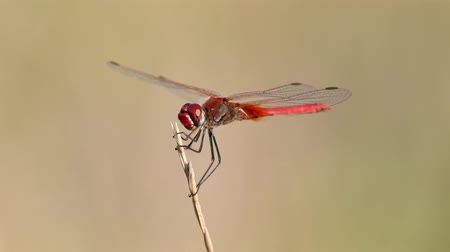 Red Dragonfly sitting on the cane Stockvideo
