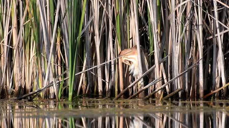 Little bittern (Ixobrychus minutus) in natural habitats.