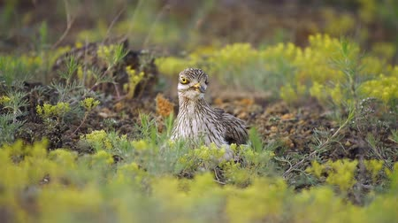 Eurasian stone curlew (Burhinus oedicnemus) sits on the nest and screams