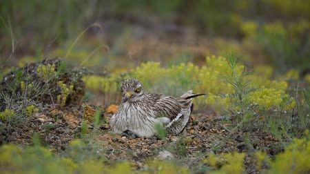 Eurasian stone curlew (Burhinus oedicnemus) sits on the nest with hatched chick