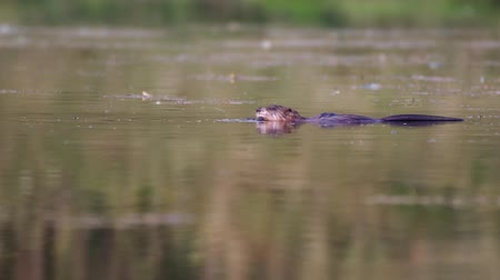 A nutria (Myocastor coypus) swimming in a pond and eating a fresh algae and then dives Stockvideo
