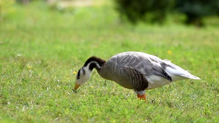 Bar-headed goose, Anser indicus, single bird walks on the grass on a sunny day