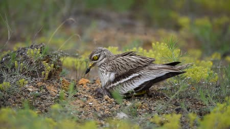 observação de aves : Eurasian stone curlew (Burhinus oedicnemus) sits on the nest with hatched chick