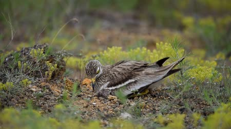 tojás : Eurasian stone curlew (Burhinus oedicnemus) sits on the nest with hatched chick