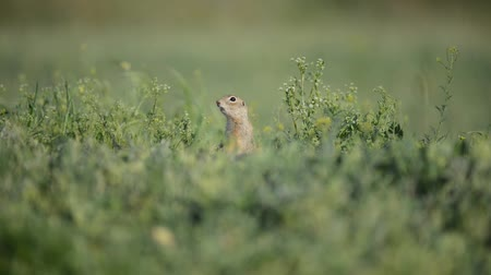 krym : Cute Ground squirrel (Spermophilus pygmaeus) standing in the grass