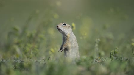 solo : Cute Ground squirrel (Spermophilus pygmaeus) standing in the grass and screams