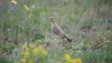 számlák : Young Isabellina Wheatear (Oenanthe isabellina) looks at the camera then poops and runs away Stock mozgókép
