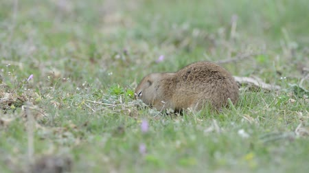 squirrel fur : Cute Ground squirrel (Spermophilus pygmaeus) eating grass