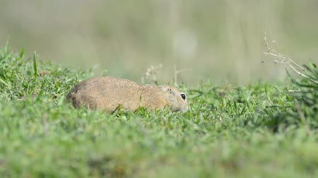 solo : Cute Ground squirrel (Spermophilus pygmaeus) eating grass