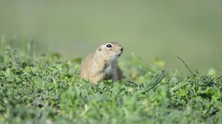 solo : Funny Ground squirrel (Spermophilus pygmaeus) eating grass Stock Footage