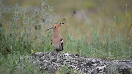 авес : The hoopoe (Upupa epops) stands on rock Стоковые видеозаписи