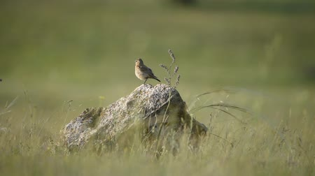 авес : Young Isabellina Wheatear (Oenanthe isabellina) stands on a stone in natural habitats