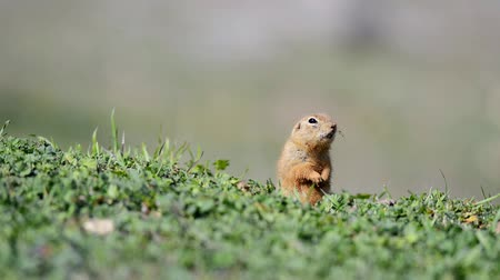 wiewiórka : Cute Ground squirrel (Spermophilus pygmaeus) standing in the grass and screams