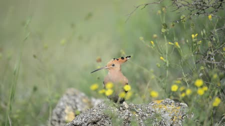 asa : The hoopoe (Upupa epops) scares the other hoopoe off the stone