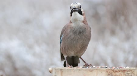 krym : Eurasian jay, garrulus glandarius, sits on a feeder and eats nuts