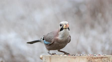 Funny birds. Eurasian jay, garrulus glandarius, sits on a feeder and eats a large nut Stock mozgókép
