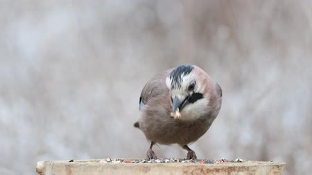 asa : Eurasian jay, garrulus glandarius, sits on a feeder and eats nuts