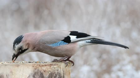 Eurasian Jay, garrulus glandarius, eats nuts in the forest on a feeder