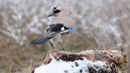 Eurasian jay, garrulus glandarius, sitting on a snow snag, and eating nuts