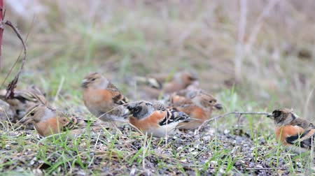Brambling, Fringilla montifringilla, birds are looking for seeds in the grass Stockvideo