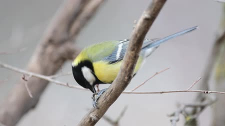 Great tit, parus major, sits on a branch and eats a nut