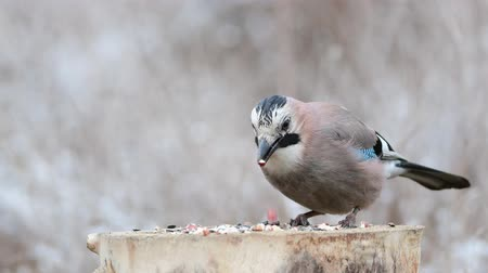 krym : Eurasian jay, Garrulus glandarius, on the winter bird feeder