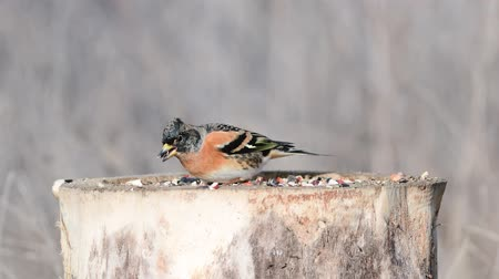 Brambling (Fringilla montifringilla) on the winter bird feeder Stock mozgókép