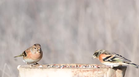 asa : Brambling (Fringilla montifringilla) on the winter bird feeder Stock Footage
