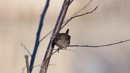 Eurasian Wren (Troglodytes troglodytes) Singing bird in its natural habitat